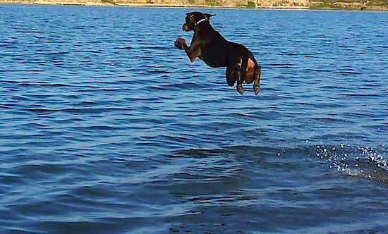 Diving Doberman